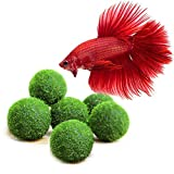 6 Nano Betta Balls - Live Round-Shaped Marimo Plant - Natural Toys for Betta Fish - for Hiding, Rolling, Nibbling - Pet-Safe - Cleans Aquarium Water - Adds Aesthetic Value to Betta Bowls & Jars