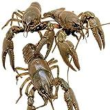 Toledo Goldfish Live Crayfish for Ponds, Aquariums or Tanks – USA Born and Raised – Live Arrival Guarantee (100 Count)
