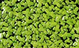 Duckweed (Lemna Minor) - 100/200/500 Live Plants (500) by Aqua Habit