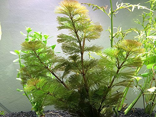 Aquatic Arts Green Cabomba - 2 Bunches – Live Aquarium Plant