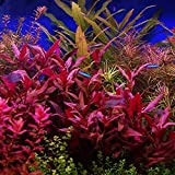 HOT! Alternanthera Lilacina Bunch BUY2GET1 Freshwater Live Aquarium Plant Red Stems