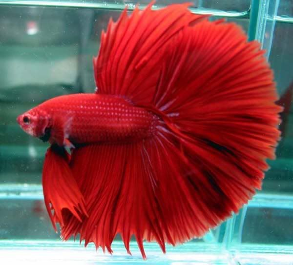 crowntail bettafish