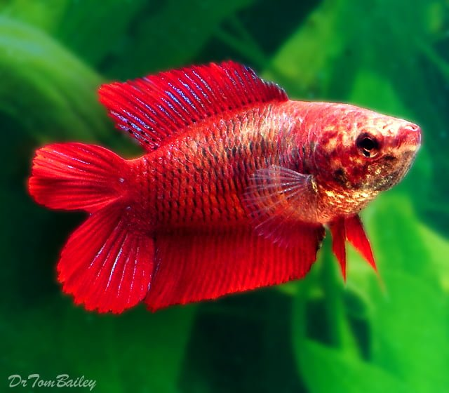 double tail bettafish
