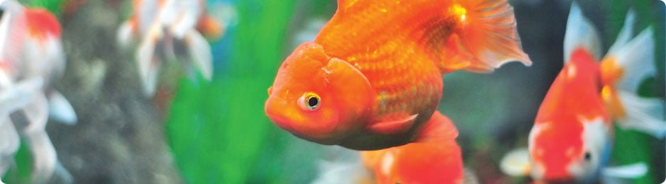 goldfish-breeding