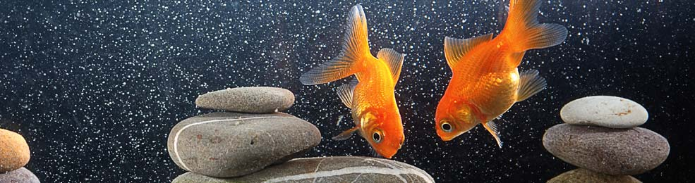 How Long Can The Gold Fish Live Without Food