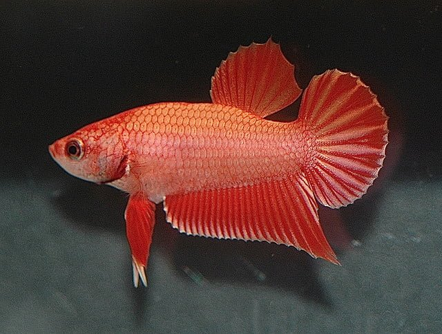 plakat bettafish