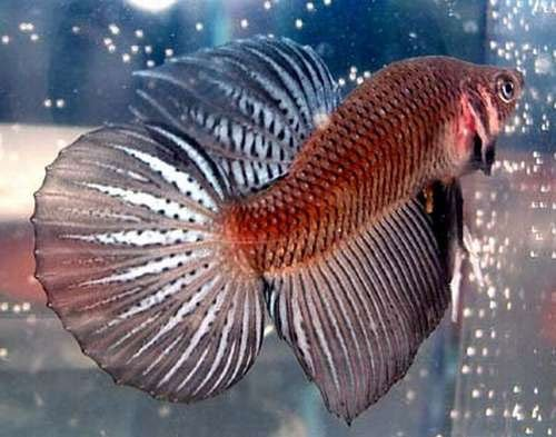 roundtail bettafish