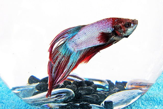 vail tail bettafish