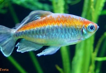 Goldfish Care - Breeding,Feeding,Diseases Etc