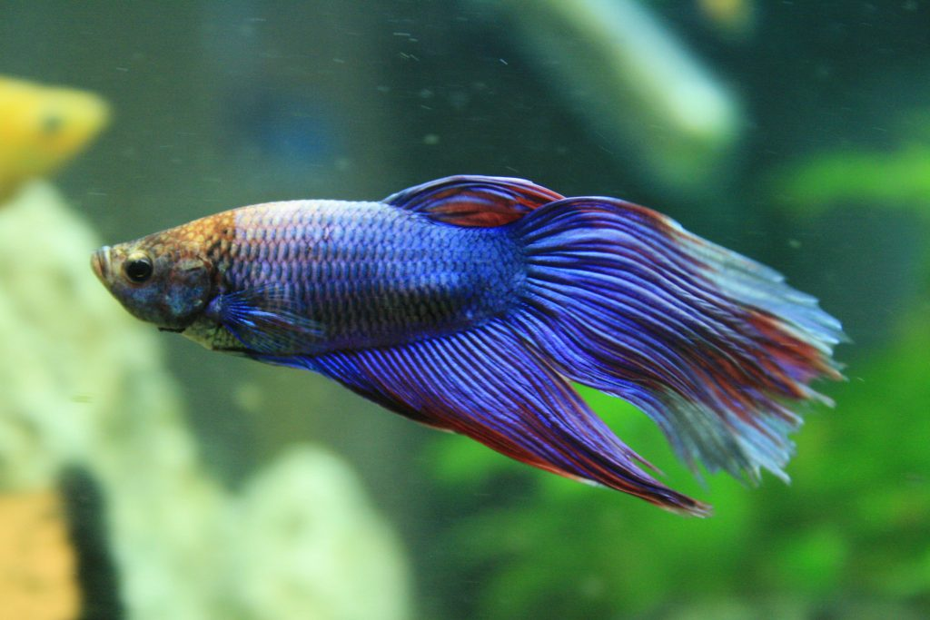 Betta Fish Care Sheet