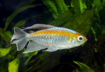 congo tetra in fish tank