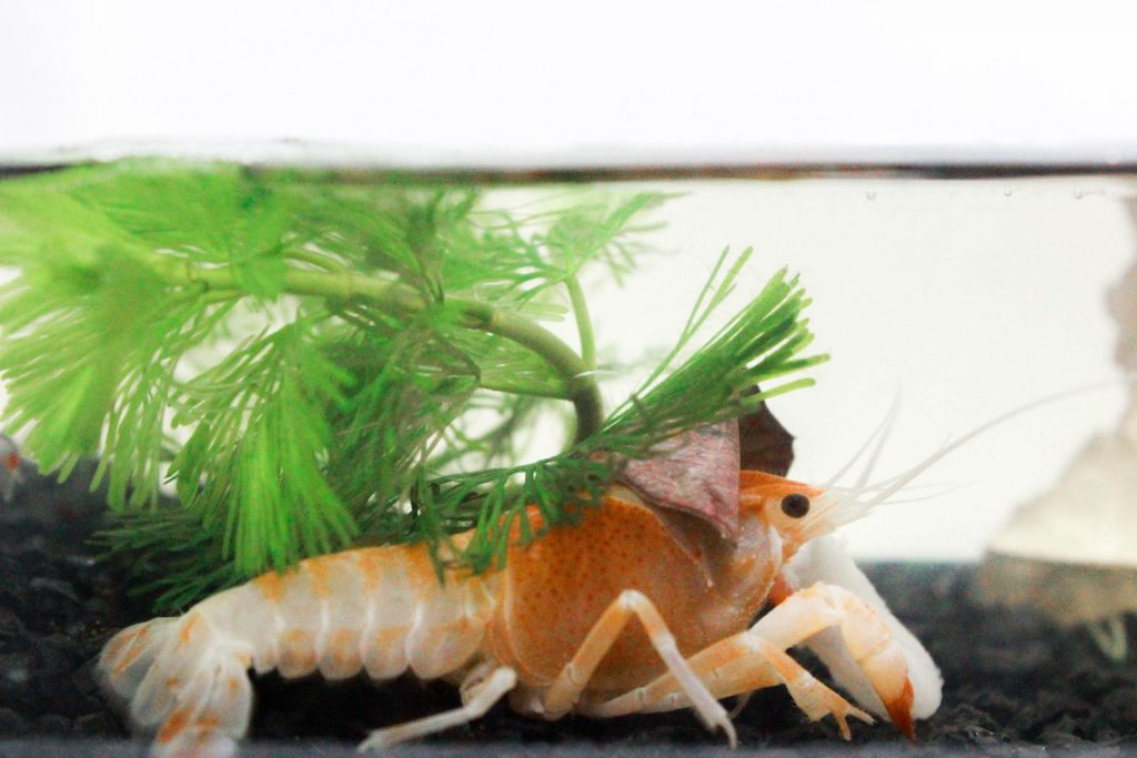 What Fish You Can Keep With Shrimp